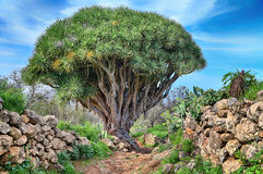Hiking trail with dragon Tree (La Palma, Canary Islands) Royalty Free Stock Photography