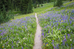 Hiking trail through field of wildflowers Stock Photography