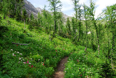Hiking trail in forest. Hiking trail in fir forest and alpine meadow, kananaskis country, alberta, canada Royalty Free Stock Photo