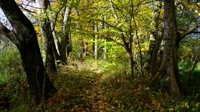 Hiking trail. In the forest in autumn stock video footage