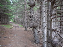 Hiking Trail through Forest. Hiking trail in Cape Breton Highlands National Park in Nova Scotia, Canada Stock Image