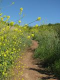 Hiking trail through a fresh spring field filled with golden wildflowers Stock Photos