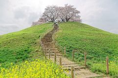 A hiking trail going up to the hilltop with beautiful sakura tree blossoms and green grassy meadows Stock Photo