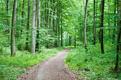 Hiking trail in a green forest. Hiking trail leading through a beech forest in spring stock images