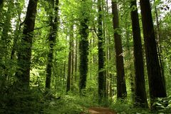 EVERGREEN FOREST TRAIL. Hiking trail with large evergreen trees, ferns and plants lining the way Royalty Free Stock Images