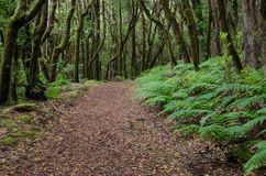Hiking trail in a laurel forest. Garajonay National Park. La Gomera. Canary Islands. Spain stock images
