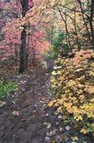 Hiking trail leads through canopy of Maple trees in fall foliage Stock Photography
