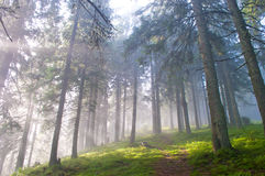Hiking trail through the misty pine forest. In autumn royalty free stock photography