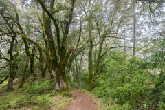 Hiking trail through moss covered trees on a foggy day, Castle Rock State park, San Francisco bay area, California royalty free stock photos