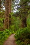 A hiking trail in an old groth forest in Washington state. USA Stock Photo