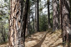 Hiking Trail Through Pine Trees Northern California Royalty Free Stock Photo