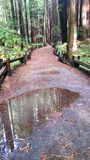 Hiking trail through Redwood forest. Rain drenched puddles reflect sky, clouds and trees. Background. Hiking the rain dappled redwood trees. Wooden barrier royalty free stock photography