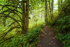 Hiking trail in Silver Falls State Park, Oregon in autumn. With mossy trees and ferns stock photos