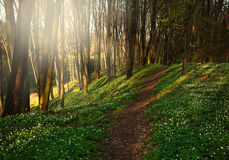 Hiking trail in spring flowering forest lit by morning sunlight Stock Image