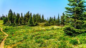 Hiking trail on Tod Mountain near Sun Peaks in British C. Hiking through alpine meadows with wild flowers on Juniper Ridge of Tod Mountain near the alpine stock photography