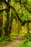 Hiking trail with trees covered with moss in the rain forest Royalty Free Stock Images