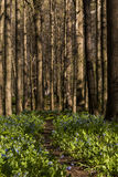 Hiking Trail and Virginia Bluebell Wildflowers - Ohio Stock Photography