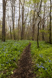 Hiking Trail and Virginia Bluebell Wildflowers - Ohio Royalty Free Stock Image