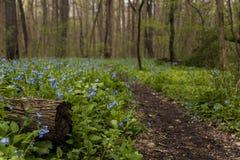 Hiking Trail and Virginia Bluebell Wildflowers - Ohio Stock Photo