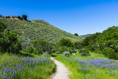 A hiking trail winds through a green, grassy meadow with lupine wildflowers royalty free stock images