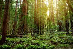 Hiking trails through giant redwoods in Muir forest near San Francisco, California Royalty Free Stock Images