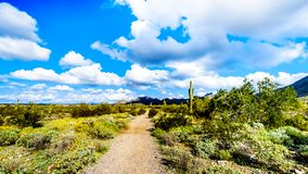 Hiking on the hiking trails surrounded by Saguaro, Cholla and other Cacti in the semi desert landscape of the McDowell Mountains. Hiking on the hiking trails royalty free stock photos