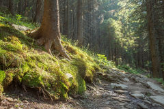 Hiking Trails Through Giant Redwoods Stock Photo