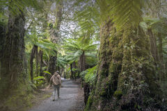 Hiking trek to Roaring Billy Falls among rainforest and fern trees, New Zealand. Haast, New Zealand - March 2016 : Hiking trek to Roaring Billy Falls among stock image