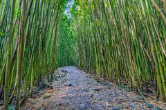 Hiking Trail Through a Bamboo Forest. A hiking trial through a bamboo grove in Haleakala National Park Maui Stock Images