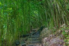 Trail Through a Bamboo Forest on Maui. A hiking trial through a bamboo grove in Haleakala National Park Maui Royalty Free Stock Images