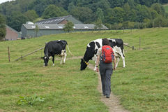 Hiking woman in meadow with cows, Netherlands Stock Photo