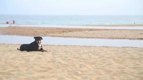 HIKKADUWA, ШРИ-ЛАНКА - ФЕВРАЛЬ 2014: Местная собака кладя на пляж Hikkaduwa на заходе солнца Hikkaduwa известно для своих красивы сток-видео
