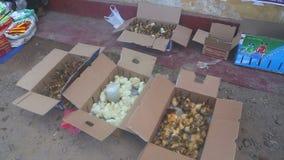 HIKKADUWA, SRI LANKA - FEBRUAR 2014: Ansicht von Küken und von Entlein in einem Kasten an Hikkaduwa-Markt Markt Hikkaduwa Sonntag stock video