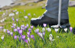Hikking in wild crocus Royalty Free Stock Photography