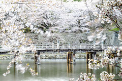 Hikone Castle cherry blossoms Stock Photo