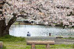 Hikone Castle cherry blossoms Royalty Free Stock Photography