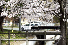 Hikone Castle cherry Royalty Free Stock Image