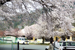 Hikone Castle-kers Royalty-vrije Stock Afbeeldingen
