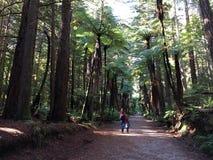 Hiks людей в гигантских лесах Redwoods в Rotorua Новой Зеландии Стоковое фото RF