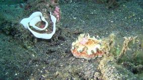 hikuerensis Brown-afilado de Glossodoris del glossodorid con los huevos en el estrecho de Lembeh almacen de metraje de vídeo