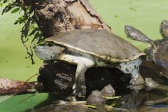 hilaire necked s δευτερεύουσα χελώ&nu Στοκ εικόνα με δικαίωμα ελεύθερης χρήσης