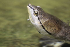 Hilaire toadhead turtle royalty free stock image