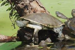 Hilaire zij-Necked Schildpad royalty-vrije stock afbeelding