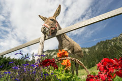 Hilarious big eared donkey is hungry for flowers. Funny donkey is waiting to get fed with beautiful flowers Royalty Free Stock Photography