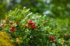 Hilberry maduro vermelho, arando na floresta Foto de Stock Royalty Free