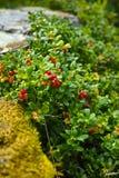 Hilberry maduro vermelho, arando na floresta Imagens de Stock