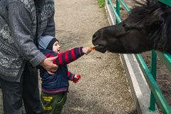 hild男孩和他的祖母给小和幼小Przewalski马的食物 库存照片