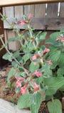 Hildago łososia kwiaty Zdjęcie Royalty Free