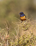 The Hildebrandt´s Starling Royalty Free Stock Photography