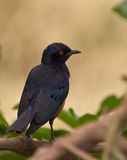 The Hildebrandt´s Starling Royalty Free Stock Image